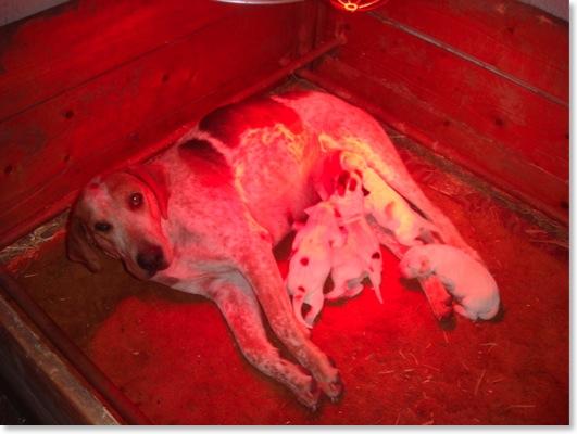 Állatkölykök melegítése Infrával